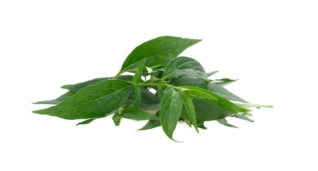 Andrographis paniculata plant on white