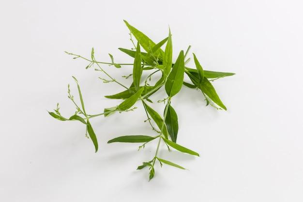 Andrographis paniculata粉末、カプセルと新鮮なandrographis paniculataハーブ植物は、白い背景で隔離、、