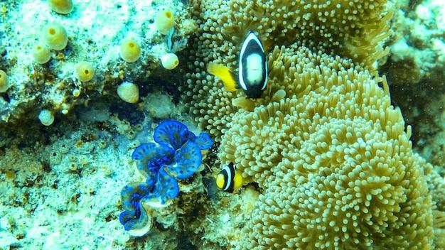 Рыба-анемон и моллюск на мальдивах.