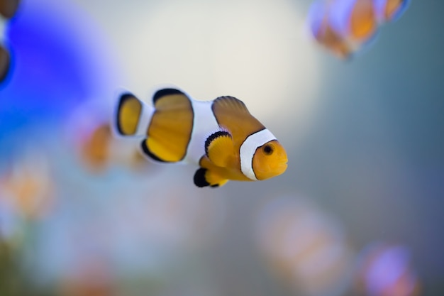 Anemone fish, clown fish