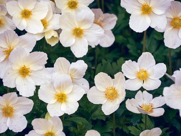 庭にアネモネの花。