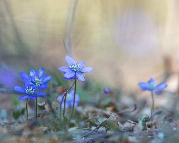 アネモネヘパティカ、hepatica nobilisは、スウェーデンで保護されている青い花です。