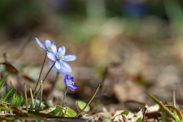 Anemone hepatica, hepatica nobilis는 스웨덴에서 보호되는 푸른 꽃입니다.