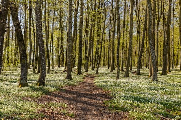 Путь через весенние цветы в буковом лесу - древесный анемон, ветреница, наперстянка, запах лисицы - anemone nemorosa - в ларвике, норвегия