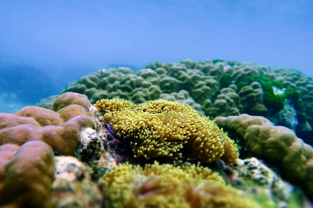 ミャンマーのコックバーン島の海の下のアネモネ
