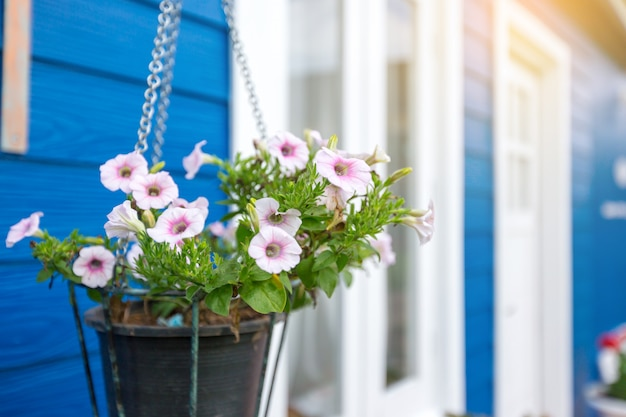 Anemone white and pink flowers in a flower pot hanging in front of a blue house
