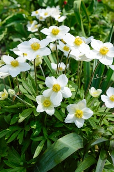 Anemone - white spring flowers grow in the garden.