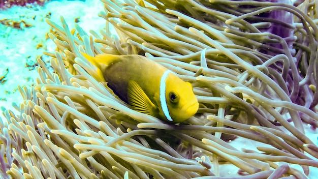 Anemonefish hiding in its anemone, maldives.