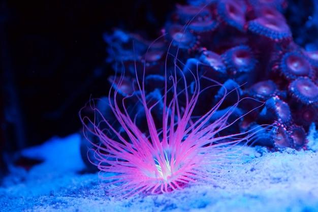 Anemones. corals in a marine aquarium.