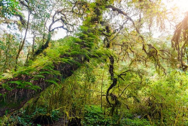 コケ、ang ka luang自然歩道のシダの木