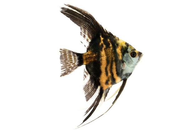 천사 물고기 민물고기 흰색 배경에서 수영