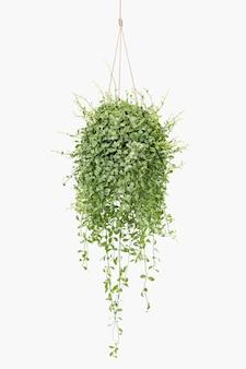 Angel vine indoor hanging plant