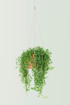 천사 덩굴 실내 교수형 식물