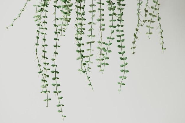 明るい灰色の背景に天使のつる植物
