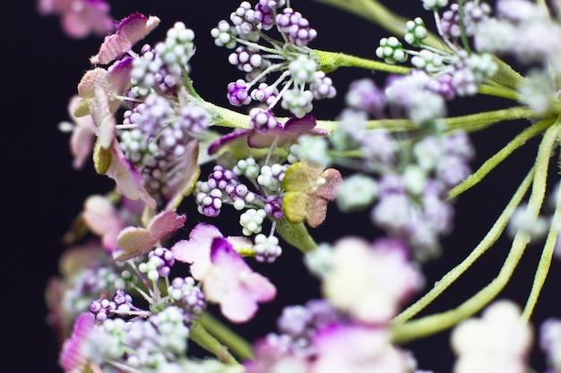 アンジェリカの花は、黒の背景に隔離されています。マクロ撮影、選択フォーカス