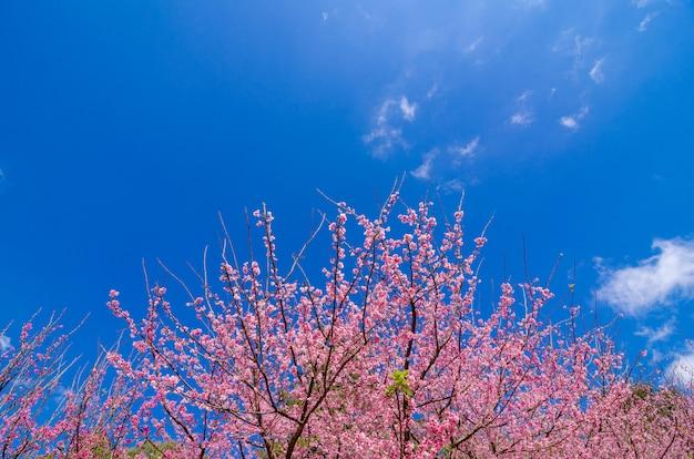 桜青い背景angkhangチェンマイタイ
