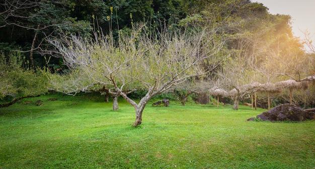 タイ王国のチェンマイ県で観光名所の王立農業ステーションangkhangで日本の杏の木