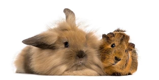 Ангорский кролик и морская свинка изолированы