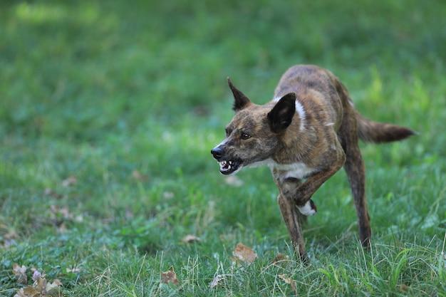 Злой агрессивный бешеный пес на открытом воздухе в парке