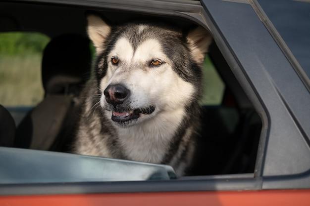 Злая собака аляскинского маламута сидит в машине. охраняет машину.