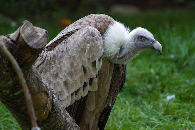 木の幹の上に腰掛けて怒っている白頭ワシ
