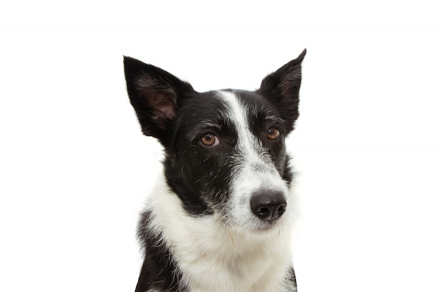 Angry border collie expression face isolated on white