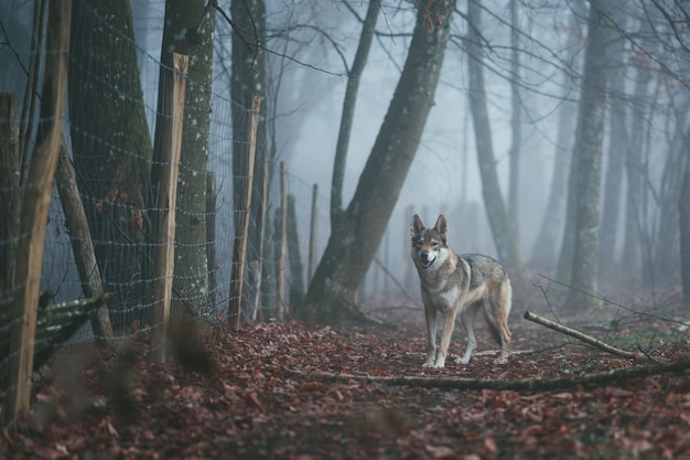 An angry brown and white wolfdog in the middle of red leaves near a thorny fence in a forest