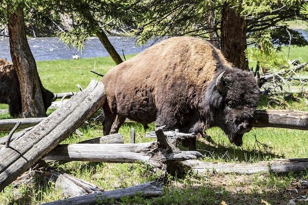 Bufalo arrabbiato all'interno del parco nazionale di yellowstone
