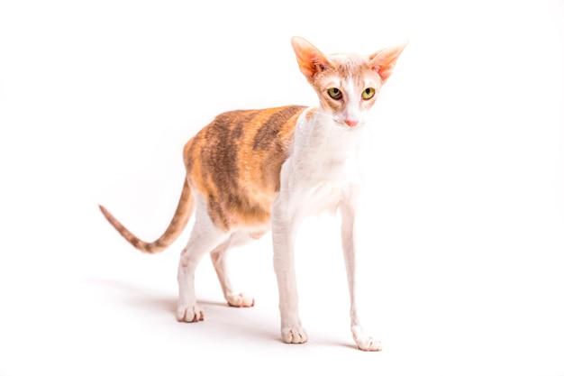 Сердитый cornish rex кошка стоит на белом фоне