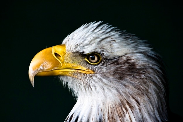 Angry eagle portrait
