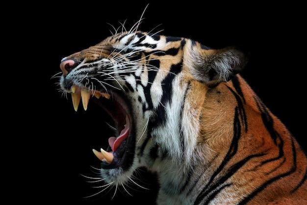 スマトラトラの怒った顔、怒っている動物、黒の背景を持つトラのスマトラのクローズアップの頭