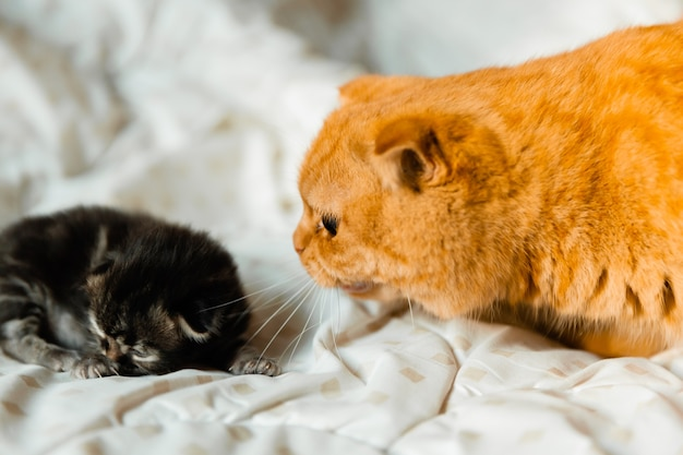 Angry ginger cat hisses at another kitten.