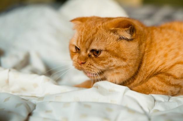 Злой рыжий кот шипит на другого котенка.