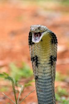 攻撃位置にある怒っているキングコブラ