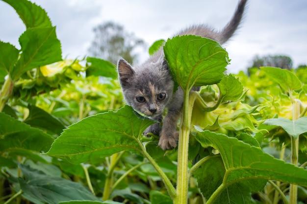 Злой котенок сидит на подсолнухе в поле.