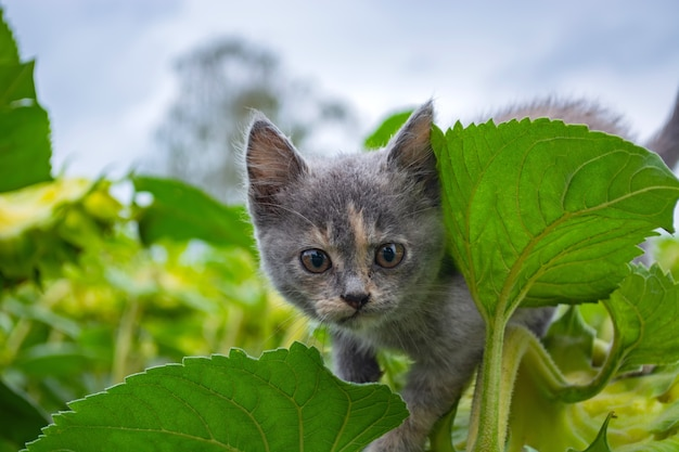 Angry kitten sitting on a sunflower in the field.