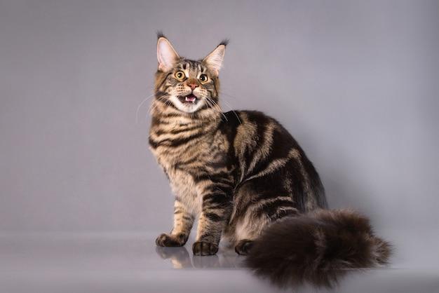 灰色の背景の上に座って怒っているメインあらいくま猫