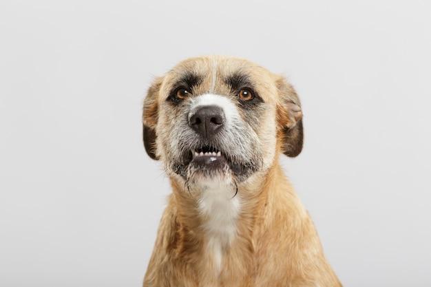 白い背景に対してスタジオでポーズをとって怒っている雑種犬