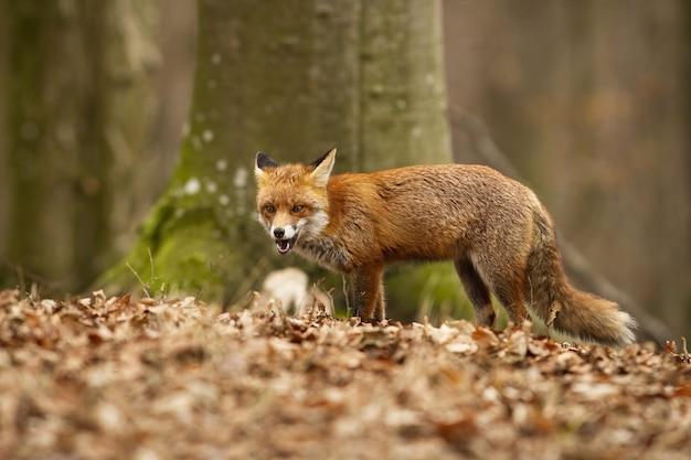 森の乾燥した葉に立っている怒っている赤狐