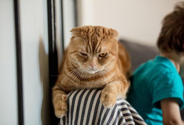 幼児の男の子と遊んだ後、怒っているスコティッシュフォールドの猫