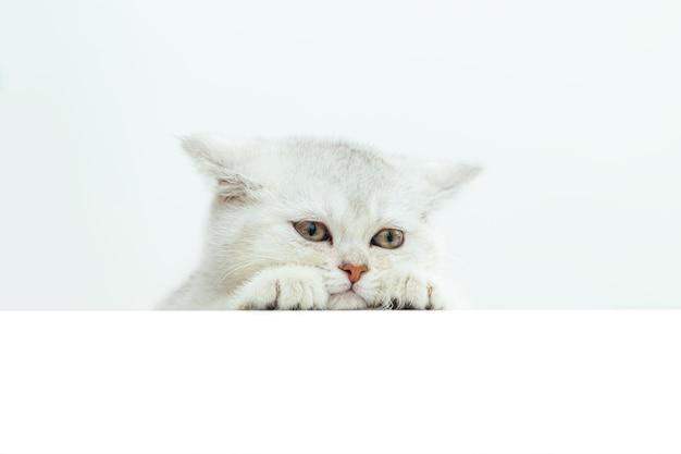 Злой белый британский котенок
