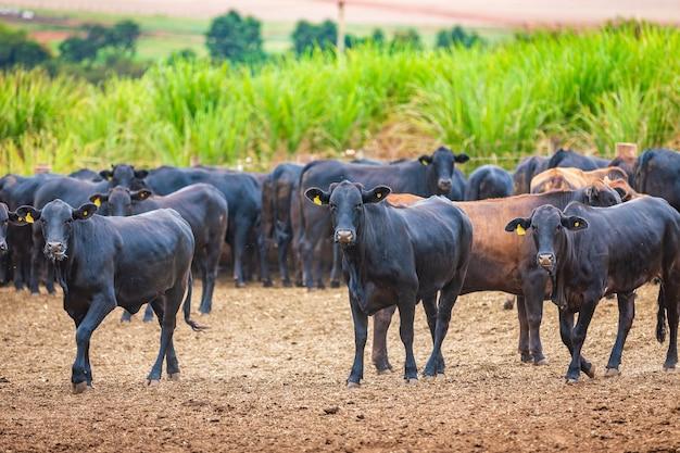 Стадо крупного рогатого скота ангусов на кормовом участке в пригороде бразилии
