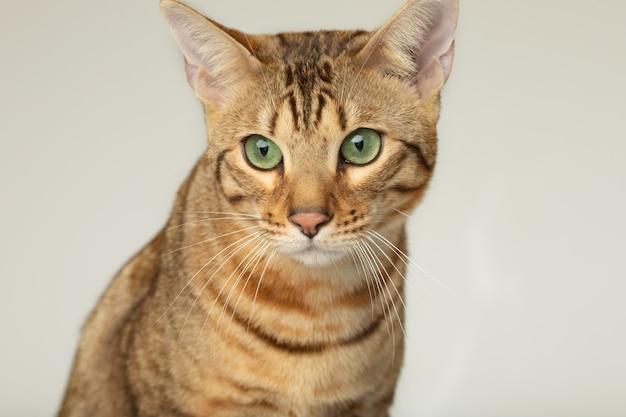 Animal cat pet concept serengeti cat on a grey wall