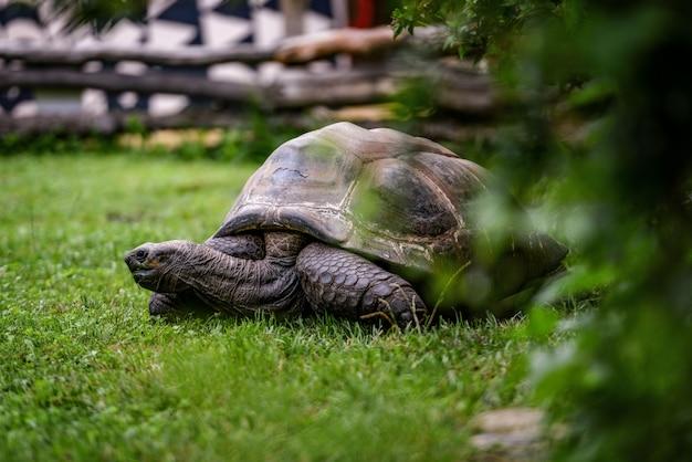 動物のクローズアップ写真。緑の芝生の上を歩く巨大なカメ。