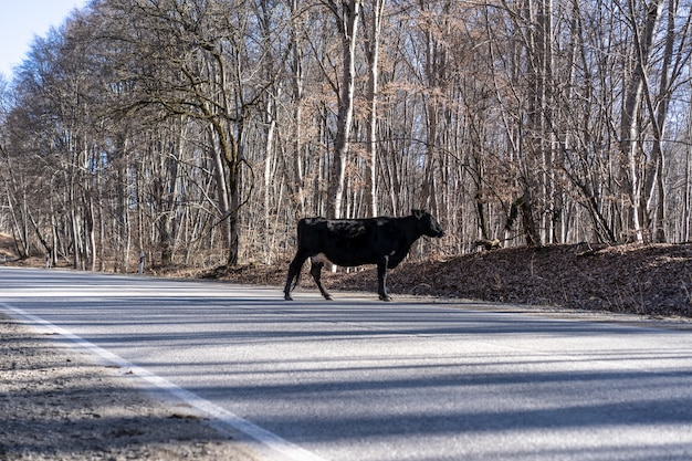 The animal crosses the road. a cow stands in the middle of the road.