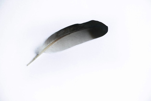 Animal feather black and white color on isolate background