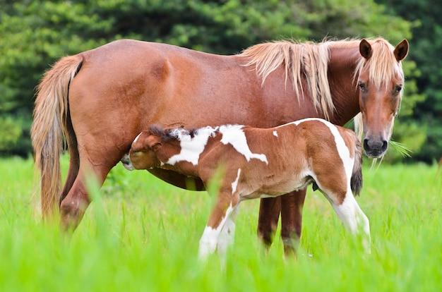 아름다운 자연 속의 동물, 푸른 풀로 가득한 목초지에서 암말에서 젖을 먹는 갈색 아기 말, 귀여운 새끼가 태국의 말 농장에서 어머니의 가슴에서 우유를 마시고 있습니다