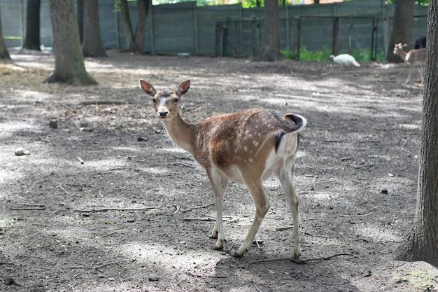 アニマルプラネット、鹿。若い美しいノロジカ。森林
