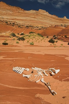 Animal skeleton on the sand in the wave sandstone rock formation in arizona, usa