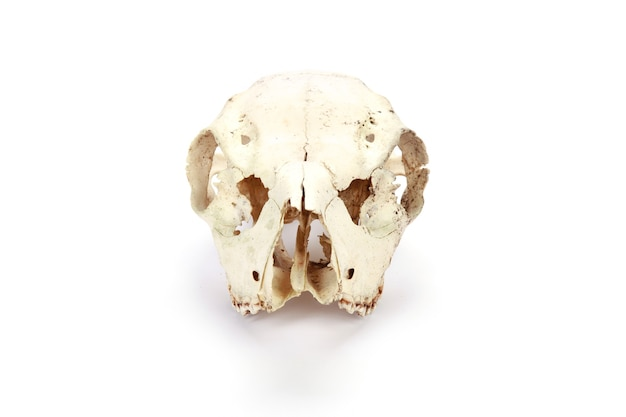 Animal skull isolated on a white surface
